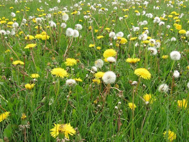 Dandelions & other edible weeds Sep 19